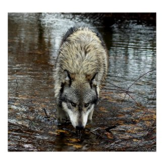 Wolf on the Prowl Print