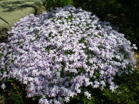 Variegated Creeping Phlox