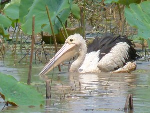 What a wonderful bird is the pelican for his beak can hold more than his belly can, Mamukala, Kakadu.