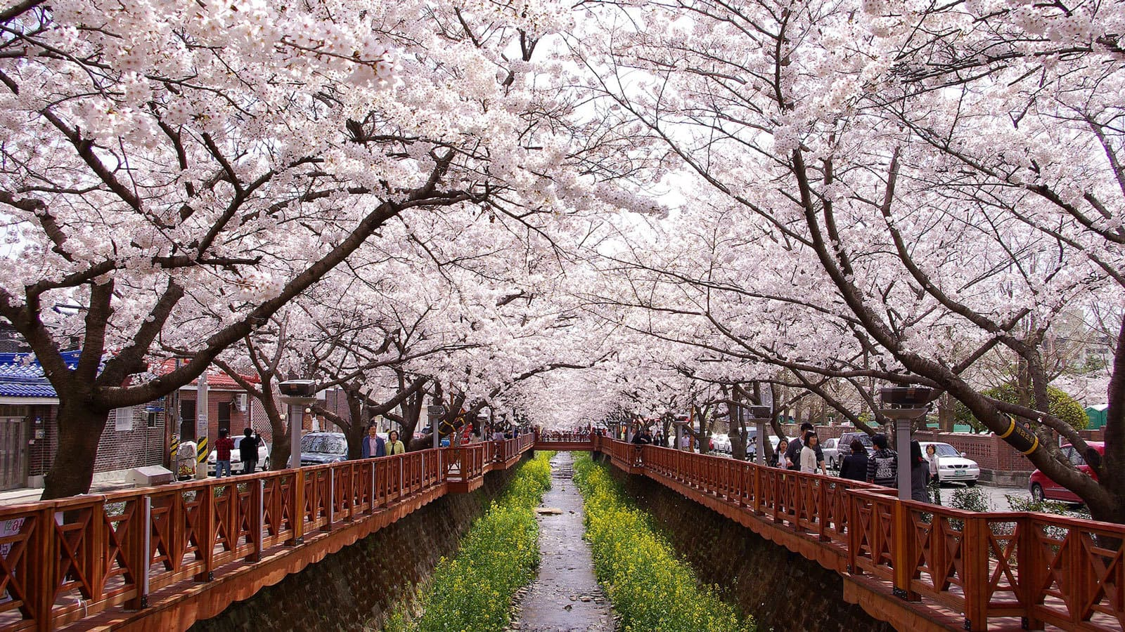 Fall Turkey Wallpaper Seeing Cherry Blossoms In Korea One Spring Day In Jinhae