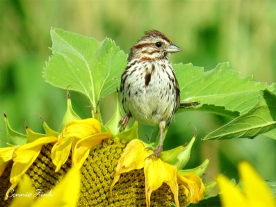 Song Sparrow on Sunflower 2014