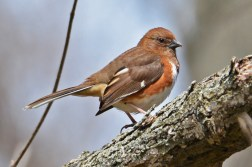 Eastern Towhee (F) - Firehouse Woods - © Dick Horsey - Apr 28, 2016