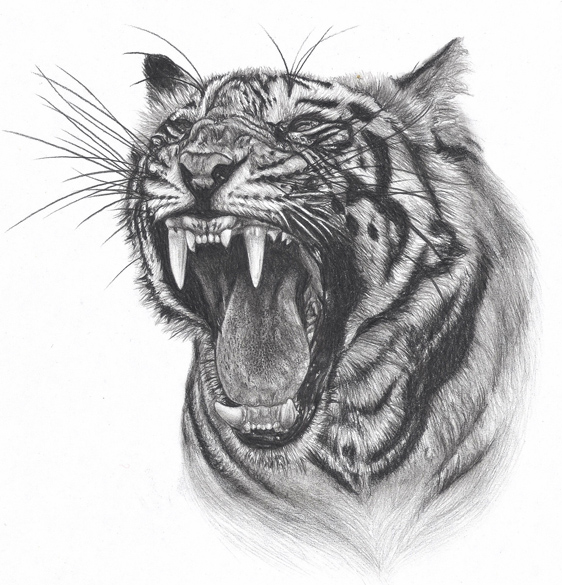 Tiger Line Drawing Easy : Roaring tiger head drawing