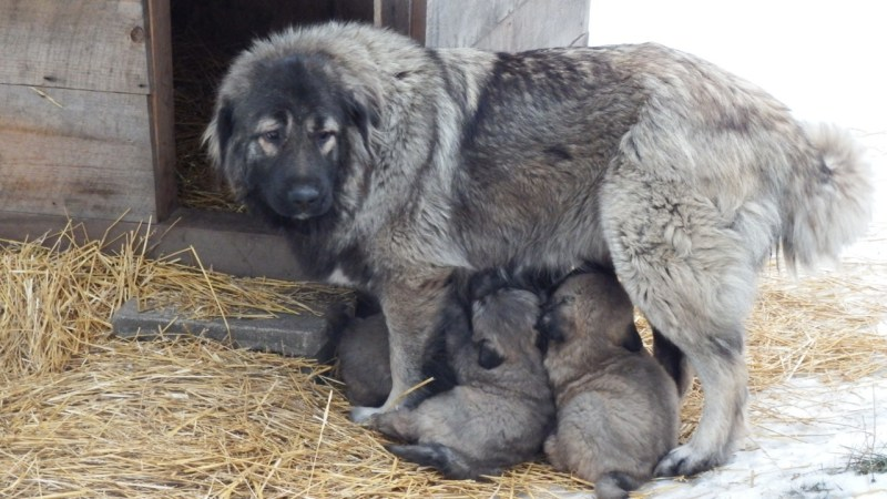 Large Of Russian Mountain Dog