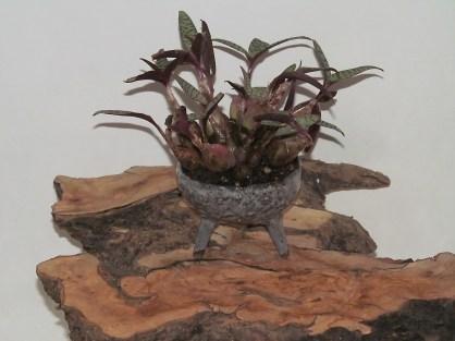 Accent Plant