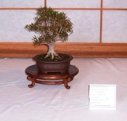Narrow Leaf Ficus
