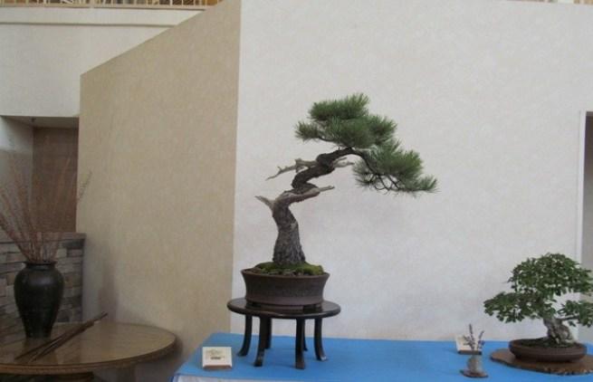 Large Ponderosa Pine