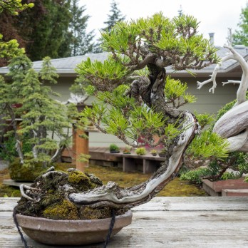 """Black pine grafted on ponderosa"""