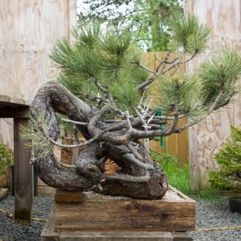 """""""Ponderosa pine"""""""