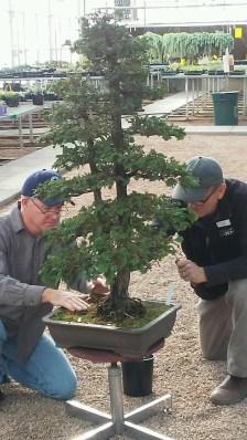Larry instructing Steve on Hinoki Cypress