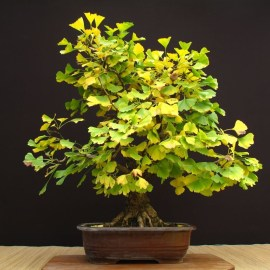 Courtesy of Ginkgo Biloba Bonsai Rare Seeds