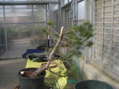 "Pinus Contorta ""Taylors Sunburst"""