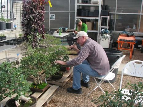 Steve working on Ficus