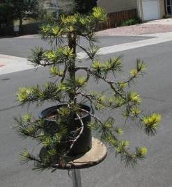 """06-01-2017 Pinus Contorta """"Taylors Sunurst"""""""