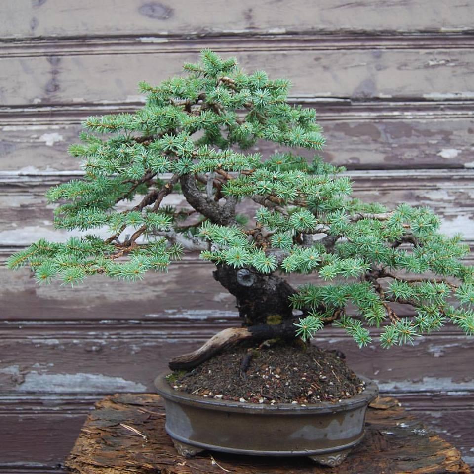 Colorado bonsai master todd schlafer rocky