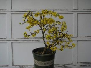 Forsythia x intermedia 'Spring Glory'