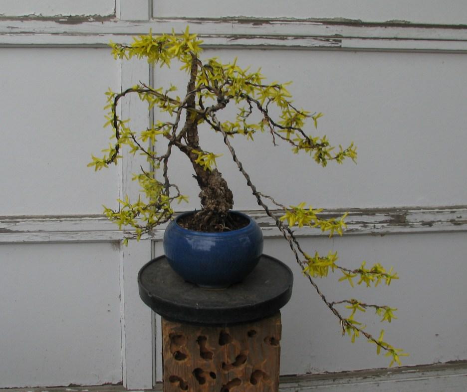 2017 Forsythia × intermedia 'Lynwood '