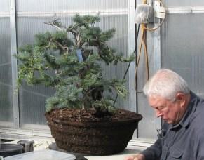 Bob - Colorado Blue Spruce Yamadori