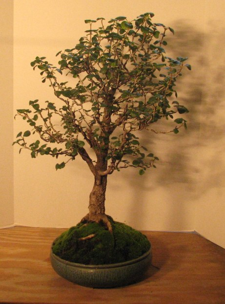 "Bonsai Fraxinus anomala – ""Single Leaf Ash"" 8-12-201"