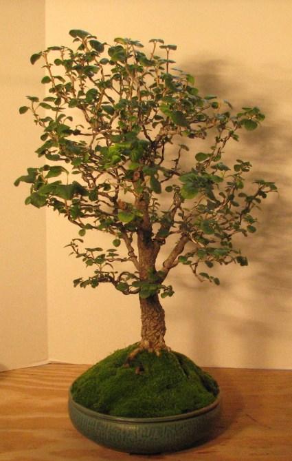 """Bonsai Fraxinus anomala – """"Single Leaf Ash"""" 8-12-201"""