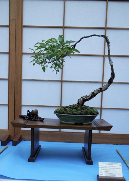 Oct. 2014 Syringa pubescens subsp. patula 'Miss Kim' Bonsai
