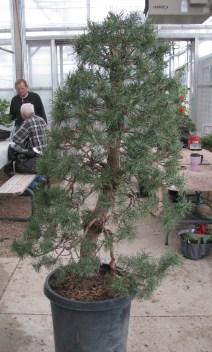 05-10-2017 Large Scots Pine