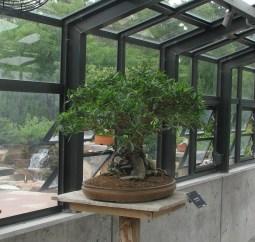 """2017 Narrow Leaf Ficus Denver """"One Man Show"""""""