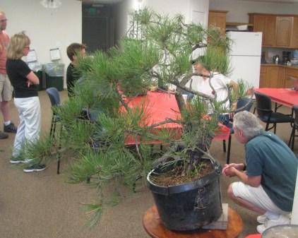 Ponderosa Pine Bonsai - Before