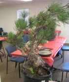 Ponderosa Pine Bonsai Side
