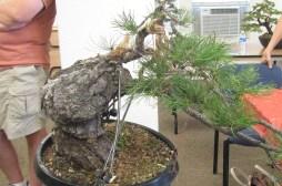 Ponderosa Pine Bonsai - Finished