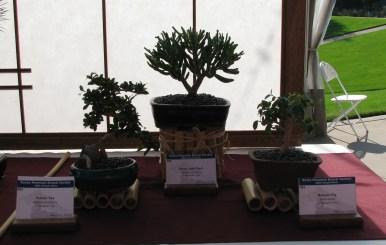 Fukien Tea & Various Succulent Bonsai