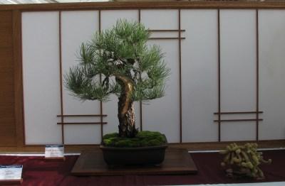 Ponderosa Pine 2 Years in Training