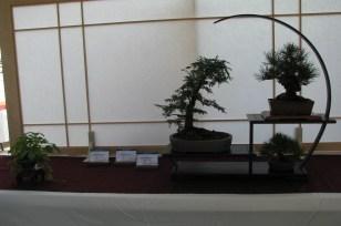 Shohin Display - Nice Corkbark Pine