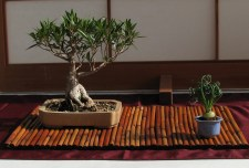 Willow Leaf Ficus 3 Years in Traingin