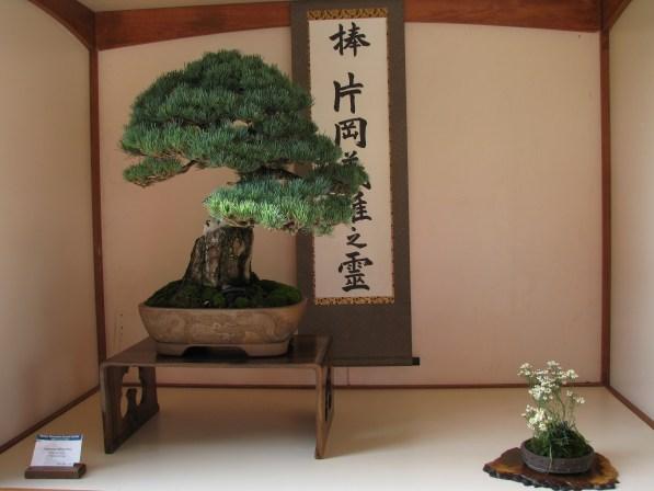 Japanese White Pine 25 Years in Training