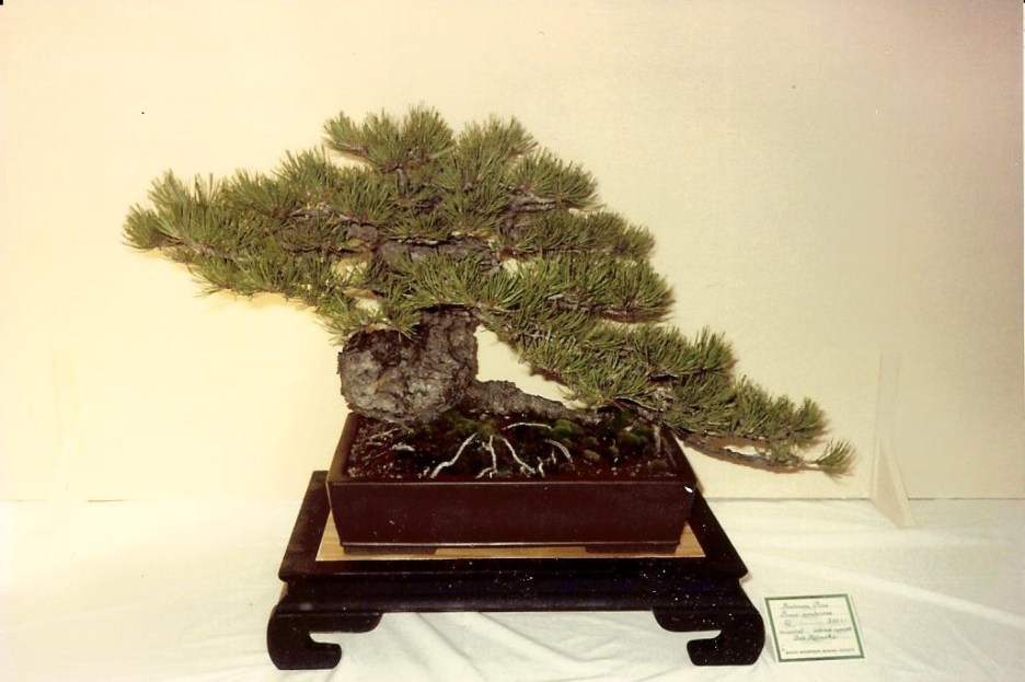 RMBS - Ponderosa Pine Bonsai Logo Bob Kataoka Tree - 1980's