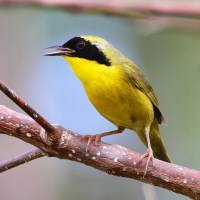 FIVE STARS: BAHAMAS ENDEMIC BIRDS (FOUR FROM ABACO)
