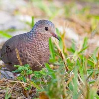COMMON GROUND DOVE ('TOBACCO DOVE') ON ABACO
