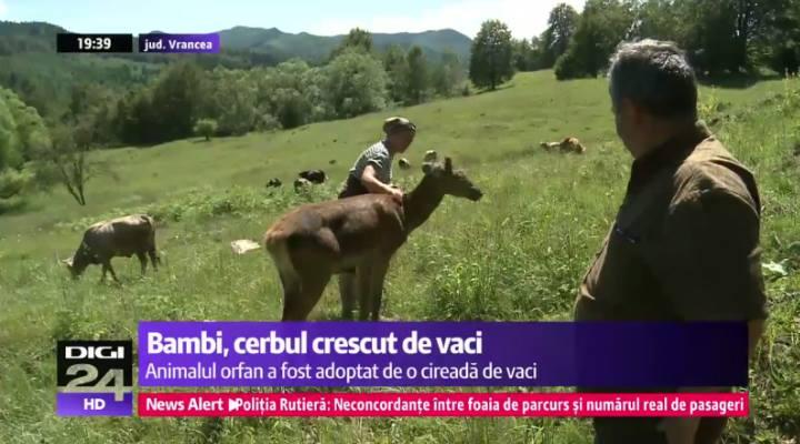 Cerbul din Munții Vrancei crescut de vaci. Povestea lui Bambi din România