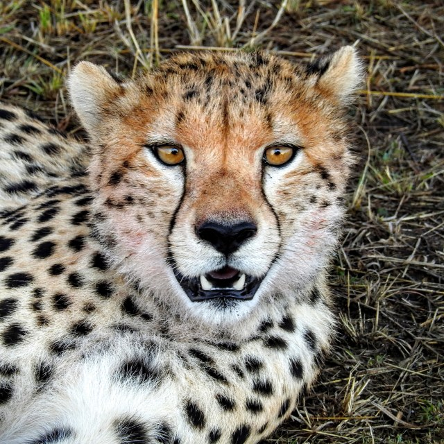 cheetah-face-sq