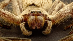 Australia Perth Huntsman Spider