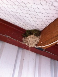 A Blue tit's nest built on top of a swallow's nest