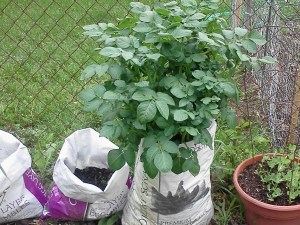 Potato Plant in Feed Bag