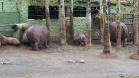 Hipopótamos! E fora d'água!