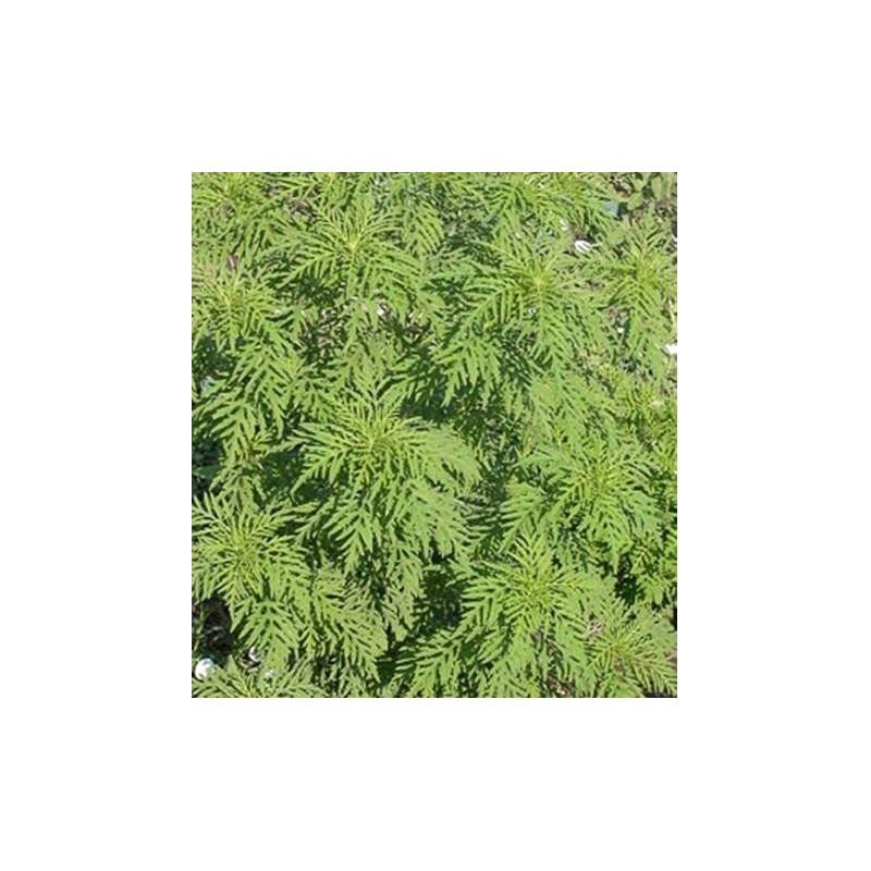 Ragweed - Roundstone Native Seed Company