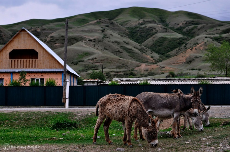 Kazakhstan Donkeys copy