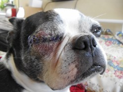 Small Of Dog Eye Swollen
