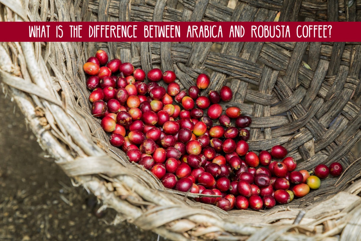 Coffee Arabica Coffee Bean What Is The Difference Between Arabica And Robusta Coffee