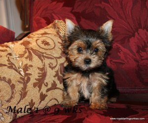 yorkie puppy for sale, yorkie puppies for sale, yorkie puppy for sale in va, yorkie puppies for sale in va, yorkie puppy for sale in dc, yorkie puppies for sale in dc, yorkshire terrier puppies for sale, teacup yorkies for sale, yorkie puppies for sale celebration fl, akc yorkie puppy for sale, akc yorkie puppies for sale