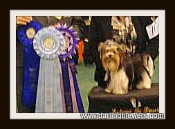yorkie champion, international champion yorkie, royal darling yorkies, biewer yorkie champion, yorkie puppies for sale, biewer puppies for sale, yorkies for sale in va, yorkie puppies for sale in virginia, yorkie puppies for sale in va